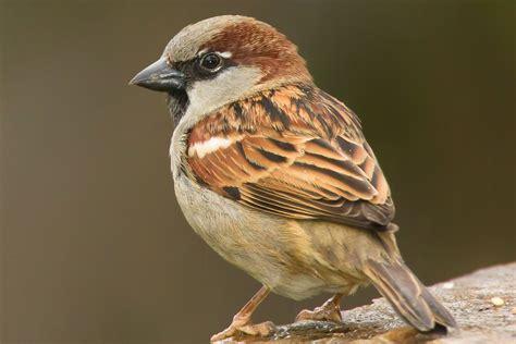 House sparrow - Facts & Information - GWCT Big Farmland ...