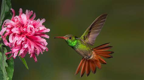Hummingbird | San Diego Zoo Animals & Plants