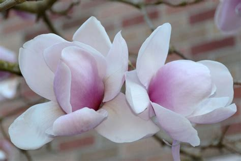 Magnolia Flower Meaning - Flower Meaning