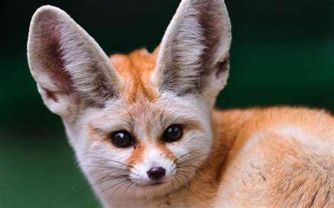 Fennec Fox With Its Huge Ears