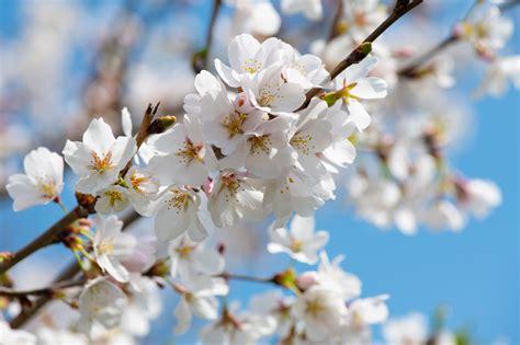 White Cherry Blossom Tree · Free Stock Photo