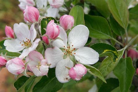 blossom - Wiktionary