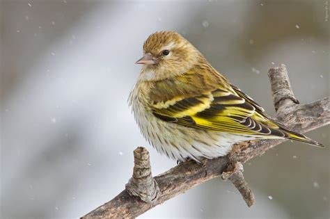Pine Siskin | Celebrate Urban Birds