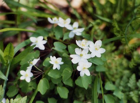 Large image for Thalictrum thalictroides (rue anemone ...