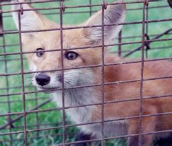Foxes and Fox Capture, Removal, and Relocation by Suburban ...