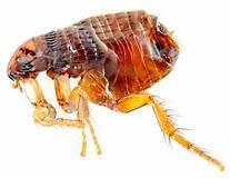 Cat flea? - Ctenocephalides felis - BugGuide.Net