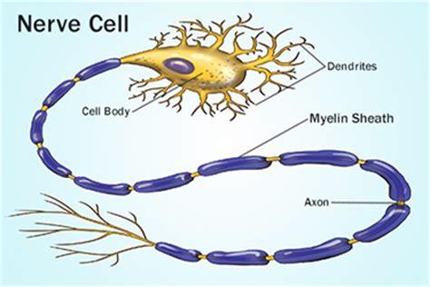 Myelin Sheaths and Multiple Sclerosis