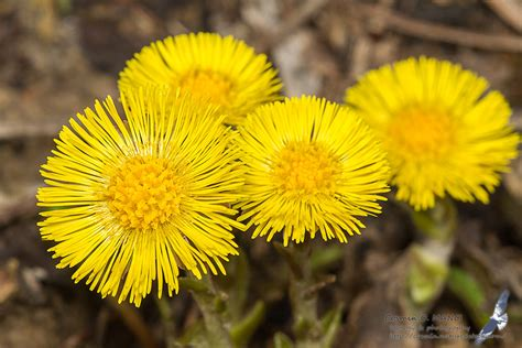 botany, in Romania but not only » Tussilago farfara L.