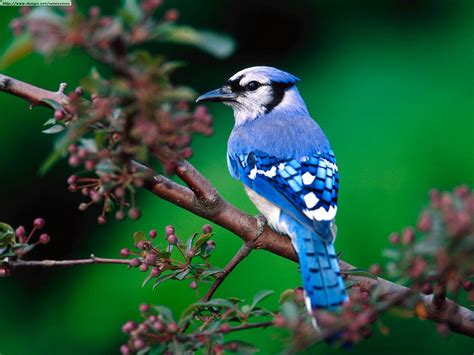 Blue Jay Facts - What Do Blue Jays Eat - Where Do Blue ...