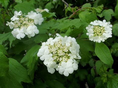 Maple-leaf Viburnum   Find these on CNC Trails   Pinterest