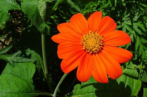 How to Grow Tithonia (Mexican Sunflowers) - Dengarden