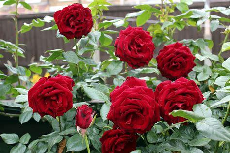 Bunga Mawar Merah Amat Termasyhur