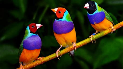 10 Most Beautiful Finch Birds In The World - YouTube