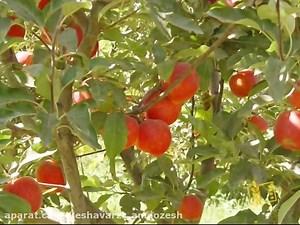 هرس درختان میوه