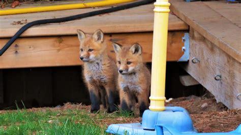 Fox family living in the backyard