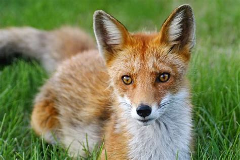 200+ Free Red Fox & Fox Images - Pixabay