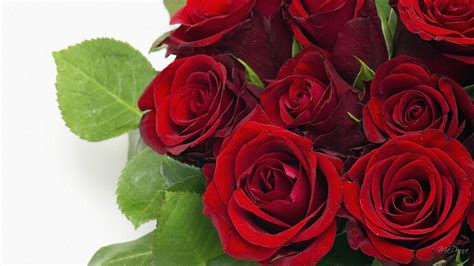 rose red, beautiful roses, rose pictures, red roses photos ...