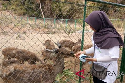 Pertamina dukung pelestarian rusa Timor - ANTARA News Bali