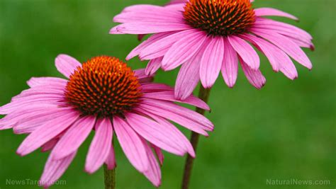 Echinacea - sources, health benefits, nutrients, uses and ...