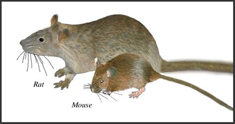 The Differences Between Rats and Mice - Top 5 Best