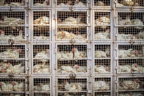Chicken cage factory farm