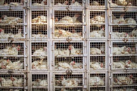Chicken cage factory farm