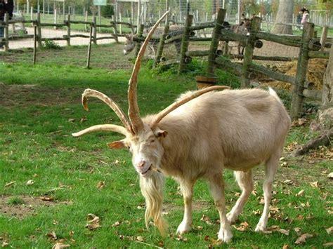 Dire Goat