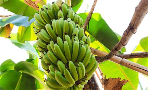 A bunch of good news on bananas