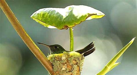 Un colibri femelle construit un nid juste sous une feuille ...
