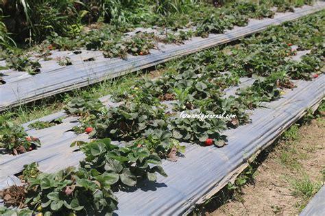 Berburu Buah Strawberry ke Desa Sembalun, Lombok Timur ...