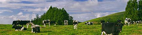 koeien op Terceira (Açores)