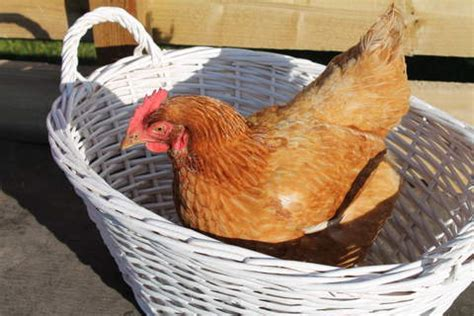 Chicken Health | Chickens | Guide | Omlet UK