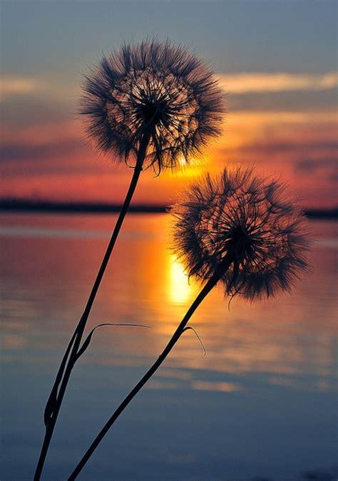 Sunset through dandelions - FaveThing.com