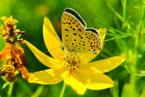 Yellow butterfly on flowers public domain free photos for ...