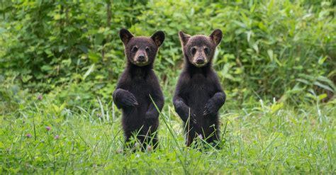 Bear Cubs Caught Playing on Gatlinburg Porch | Southern Living