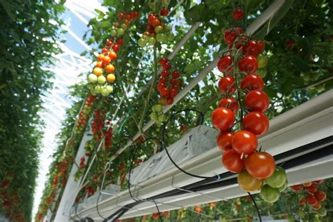 MightyVine Tomatoes are Mighty Good | Pantry to Plate