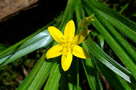 Hypoxis hirsuta - Wildflowers of the National Capital Region