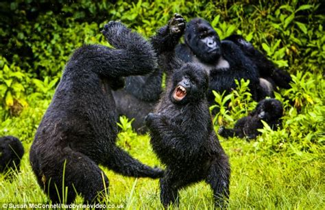 Gorillas in the midst of a play fight: Young apes let off ...