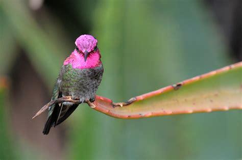 Beautiful Allen's and Anna's Hummingbirds