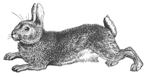 Wild rabbit clipart 20 free Cliparts | Download images on ...