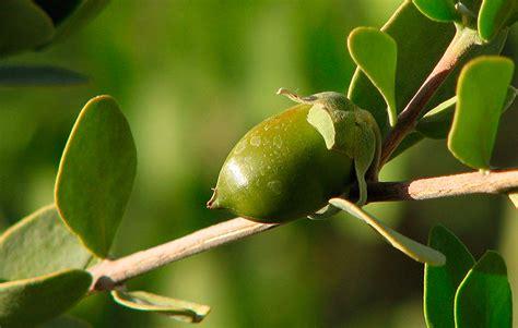 Jojoba Management - 100% natural pure Simmondsia Chinensis ...