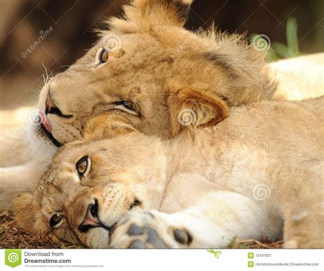 Two Male Juvenile African Lions Resting Together Royalty ...