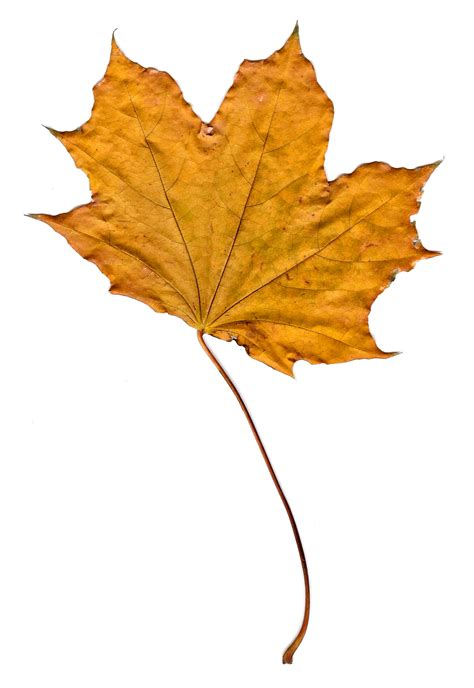 Golden Fall Maple Leaf Picture | Free Photograph | Photos ...
