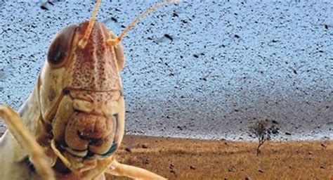 Locust Plague in Syria - God in a Nutshell project