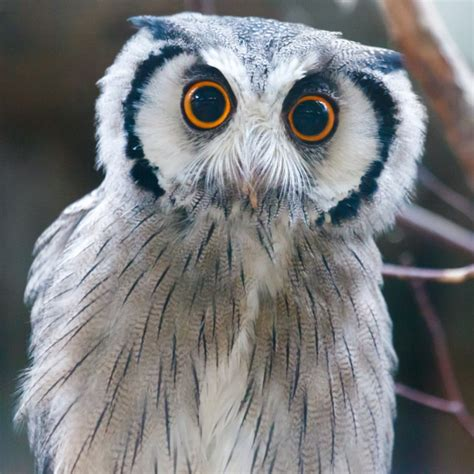 Southern White Faced Owl Free Stock Photo - Public Domain ...