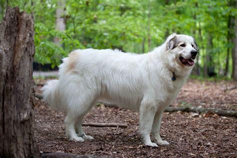 chien de montagne des pyrènèes