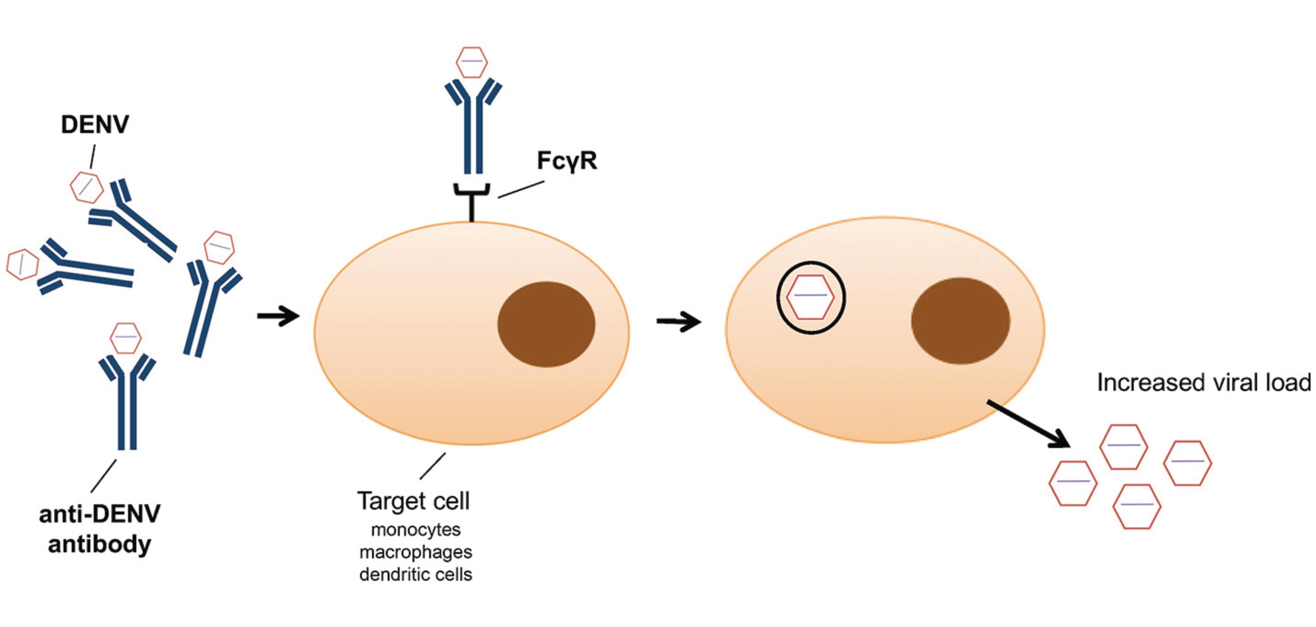 File:Antibody dependent enhancement.svg - Wikipedia