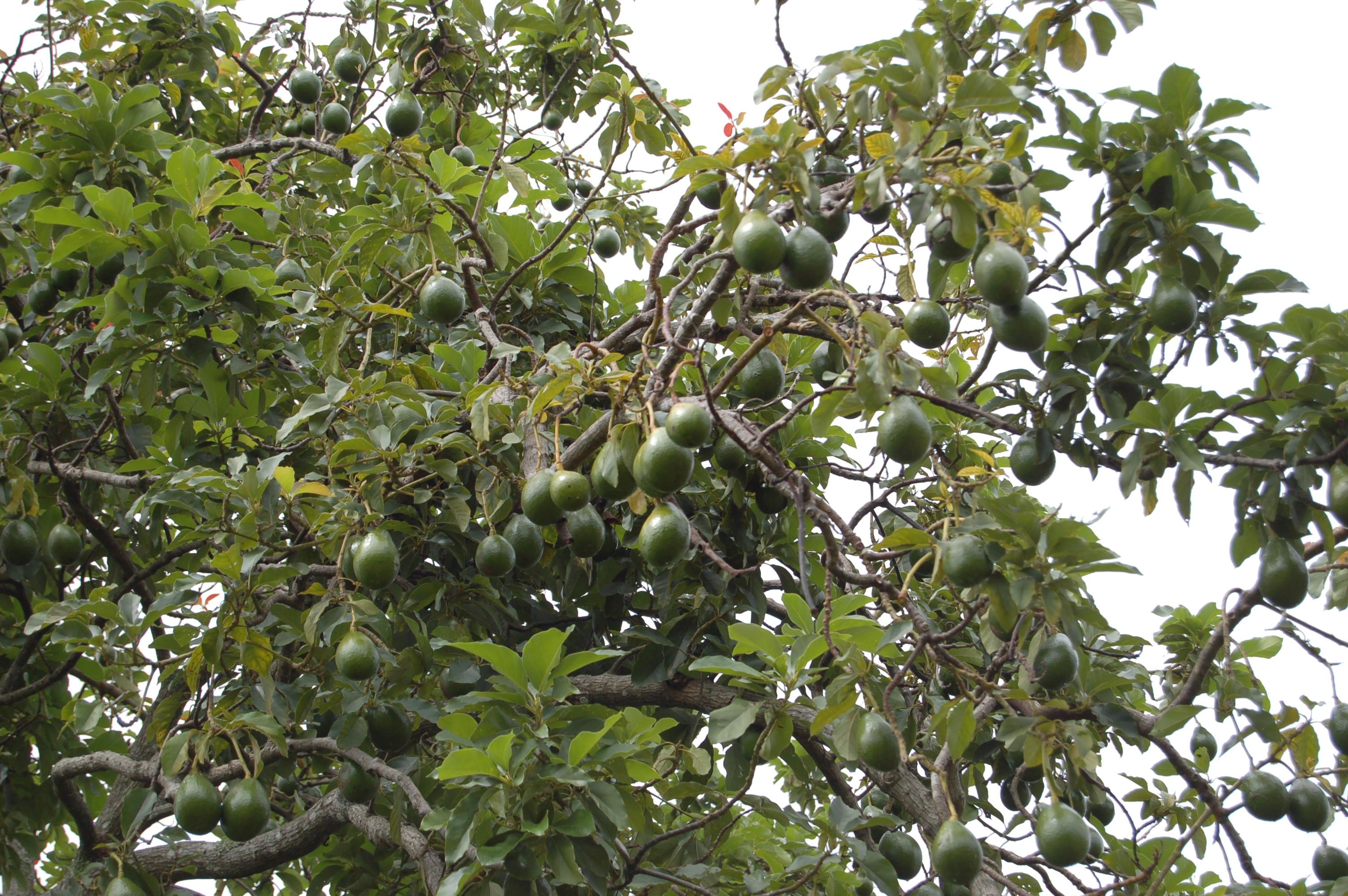 File:Avocado Tree (2473587957).jpg - Wikimedia Commons