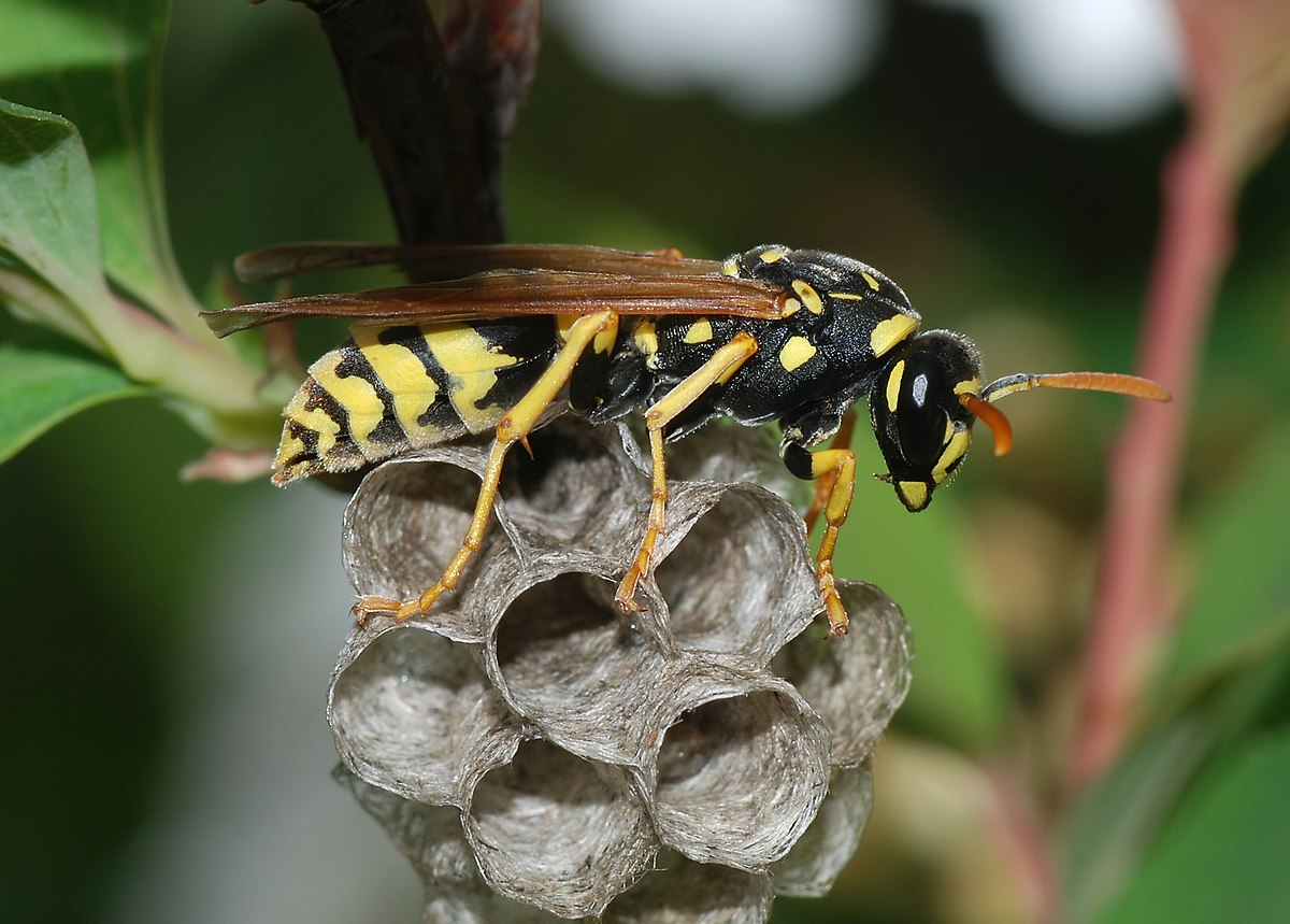 A healthy wasp microbiome can fend off pesticides…