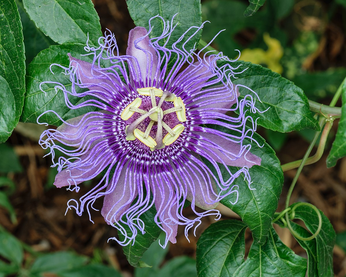 Passiflora incarnata - Wikipedia